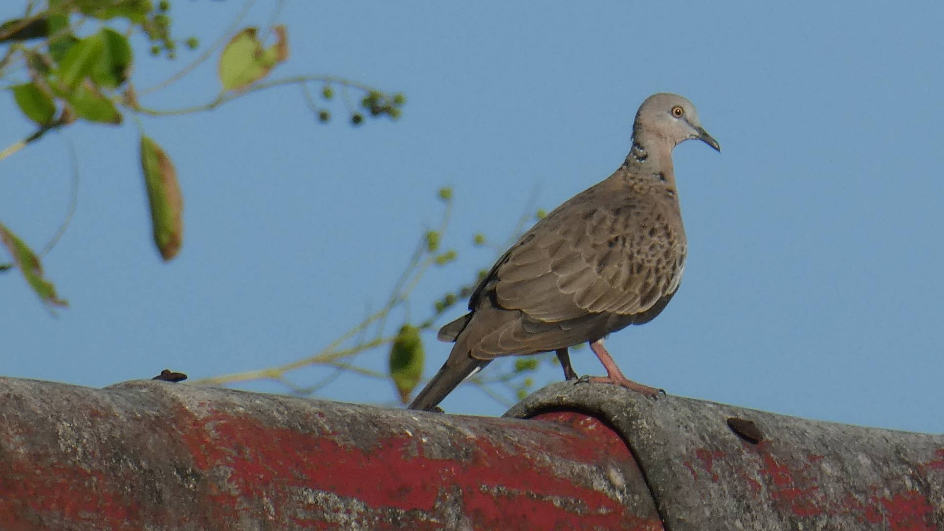 Streptopelia chinensis, Spotted Dove. Bira (3)