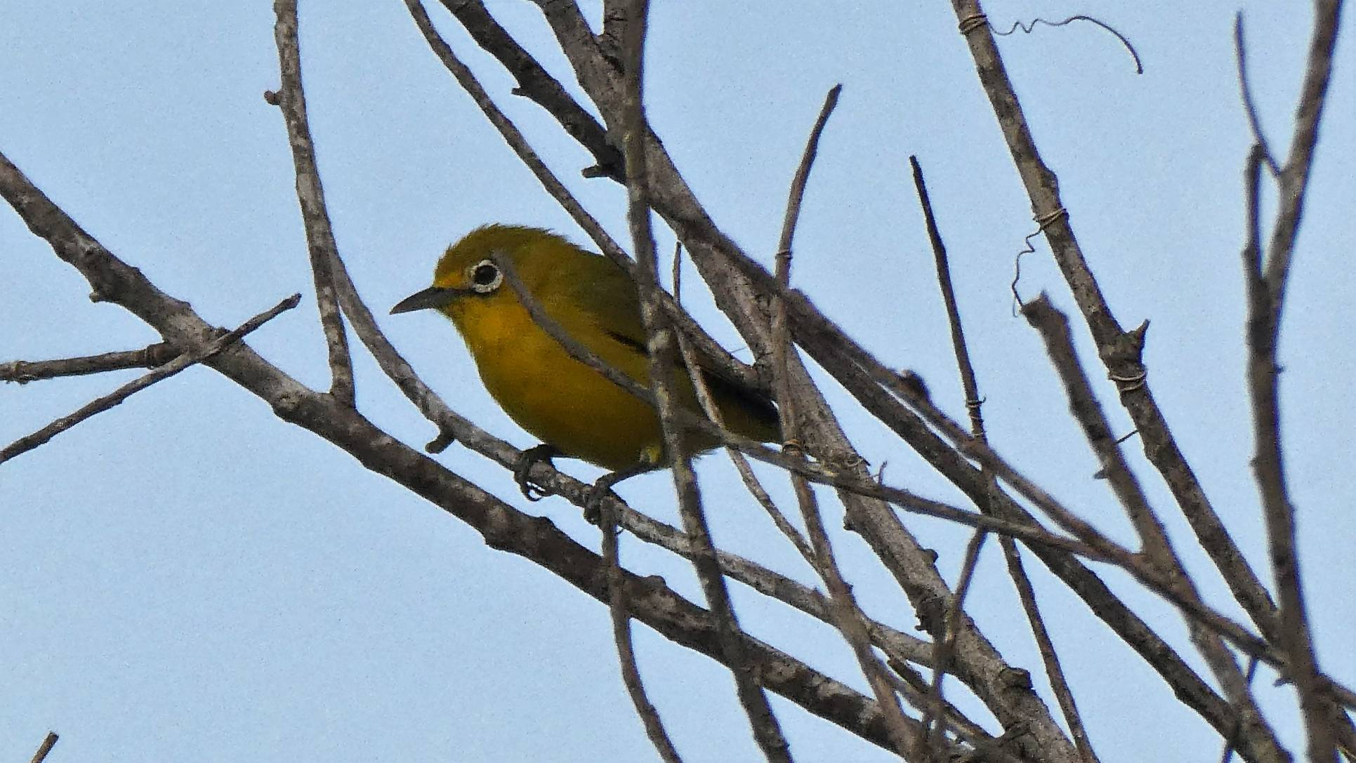 Zosterops montanus, Mountain White-Eye. Bira (3)